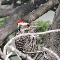 Striped Woodpecker :: чудинова ольга