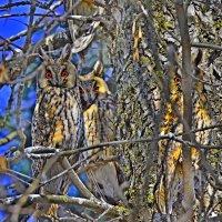 Ушастые совы. :: Береславская Елена