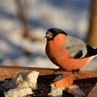 снегирь обедает :: linnud