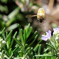 пчела или муха :: Александр Деревяшкин