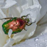 Медный жук :: Viacheslav