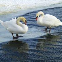 Казанские лебеди :: Наиля