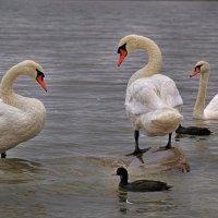 Лебеди :: Татьяна Панчешная