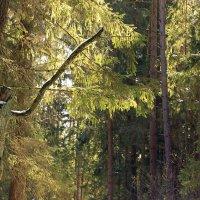 пробиваясь сквозь ветви :: оксана