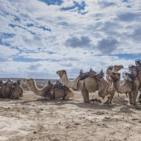 Верблюды :: Юрий Тойбин