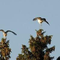 Айсты расправили крилья :: Kostas Slivskis
