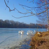 Лебеди   вернулись на озеро... :: Galina Dzubina