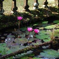 Есть в графском парке чёрный пруд, там лилии цветут. :: Лара Гамильтон