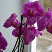 Орхидея. :: zoja