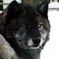Черный волк :: Андрей Кротов