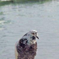 пляжный голубок :: Александр Корчемный