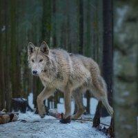 Polar wolf :: Владимир Колесников