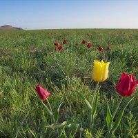 Тюльпаны степей :: Иван