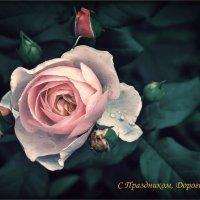 Хрусталь дождя упал на розу... :: Ирина Falcone