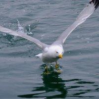 чайка :: Сергей Короленко