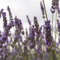 lavender field :: Anna