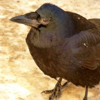 черная ворона на грязном снегу :: Александр Прокудин