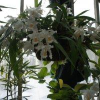 Орхидея Coelogyne cristata, целогина гребенчатая :: Елена Павлова (Смолова)