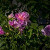 грелись на солнце пионы :: gribushko грибушко Николай
