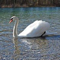 Белый лебедь, лебедь чистый..... :: Galina Dzubina