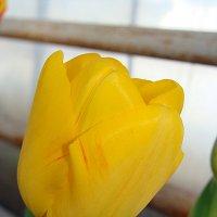 Tulipa Olympic Flame :: laana laadas