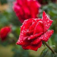 Монастырская роза :: Олександр Волжский