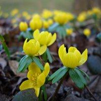 """""""Как прекрасны первоцветы, Как они милы, просты..."""" :: Galina Dzubina"""