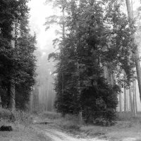 Сосновые  туманы. :: Валерия  Полещикова