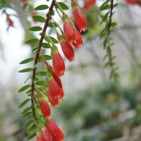 Агапетес змеевидный (Agapetes serpens), сем Вересковые :: Елена Павлова (Смолова)