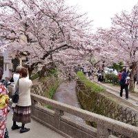 Киото цветение сакуры :: Swetlana V