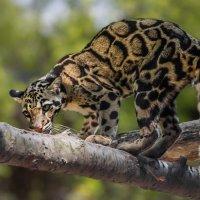 Дымчатый леопард :: Nn semonov_nn