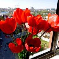 Красные тюльпаны... :: татьяна