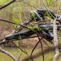 Амурский полоз - крупнейшая змея Дальнего Востока :: Евгений Поварёнков