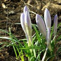 Бутоны весны :: Татьяна Смоляниченко