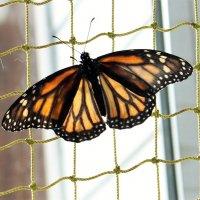Бабочка :: Ираида Мишурко
