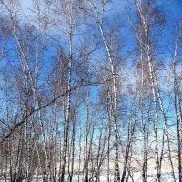 Берёзовый лесочек. :: nadyasilyuk Вознюк