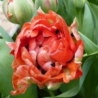 Легенда гласит, что первые тюльпаны выросли из капель драконьей крови…... :: Galina Leskova