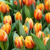 Тюльпаны....В них нет ненужных мелочей… :: Galina Leskova