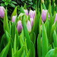Садовые тюльпаны, как вельможи, холёны и надменно холодны.... :: Galina Leskova
