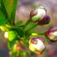 Так расцветает вишня. :: оля san-alondra