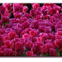 Все цветы к вашим ногам,милые Женщины! :: СветЛана D
