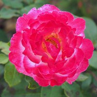 городские цветы-роза :: Олег Лукьянов