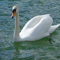 Белый лебедь, лебедь чистый........ :: Galina Dzubina