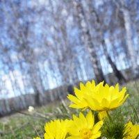 Первые цветы... :: Дмитрий Петренко