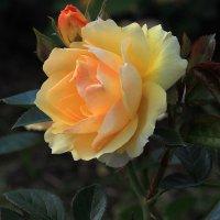 Благоухающая роза! :: Николай Кондаков