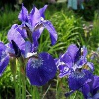 Ирис - цветок богини Ириды :: Елена Павлова (Смолова)