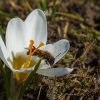 Шафран и пчелка :: Павел Руденко