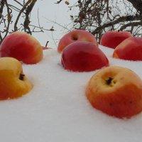 Яблоки на снегу... :: Людмила Ларина