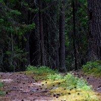 Лес манит... :: Александр (Алчи) Шерстнёв