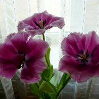 Праздничные тюльпаны :: Надежда